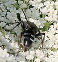 Wasp ID Request - Lyroda subita
