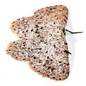 Moth to porch light  - Glena cribrataria - female