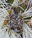 7005992 beetle - Merobruchus major