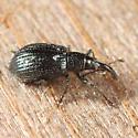 green weevil - Ischnopterapion virens - female