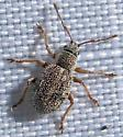 Small weevil - Thricolepis inornata