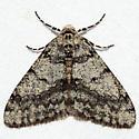 Phigalia denticulata