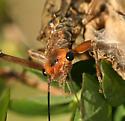 Large Stonefly - Hesperoperla pacifica