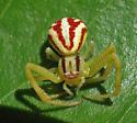 Subadult female Mecaphesa (Misumenops) schlingeri - Mecaphesa schlingeri - female