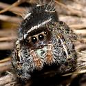 Species Phidippus audax - Phidippus audax