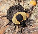 Necrophila americana