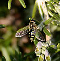 Syrphid or Hover Fly - Eupeodes volucris - female