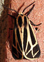 Tiger Moth - Apantesis carlotta-nais-phalerata-vittata