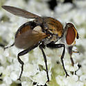 Fly IMG_4103 - Gymnoclytia