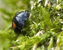 New for 2009: Twice-stabbed Lady Beetle - Chilocorus stigma