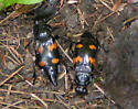 Sexton Beetle Nicrophorus orbicollis - Nicrophorus orbicollis