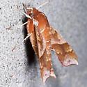 Azalea Sphinx - Hodges#7886 - Darapsa choerilus