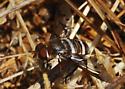 Orange County Bee Fly Archives #138 - Needs ID - Exoprosopa doris