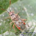 Hyaline Grass Bug 01 - Liorhyssus hyalinus