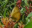 is this a Cloudless Sulphur?