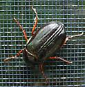 Big Black Beetle - Phyllophaga