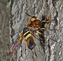 Eriotremex formosanus - female