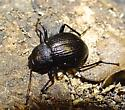Beetle  - Meracantha contracta