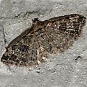 Many-plume Moths - Alucita