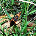 brou8Apr8 - Zelus longipes