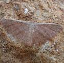 moth - Pleuroprucha