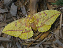 Imperial moth, Hodges #7704 - Eacles imperialis - female