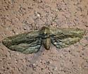 moth - Holochroa dissociarius