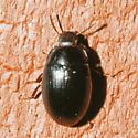 Unknown beetle - Platydema oregonense