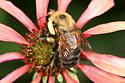 Bumble Bee - Bombus griseocollis