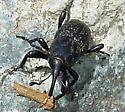 Clay-coloured Billbug (Sphenophorus aequalis) ? - Sphenophorus zeae