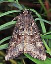 Noctuidae - Apamea amputatrix