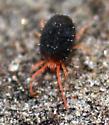 Spider Mite - Bryobia