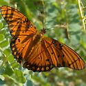 Butterfly at Arizona-Sonoran Desert Museum - Agraulis vanillae