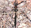Sely's Sundragon - Helocordulia selysii - male