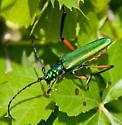 very large green and orange beetle - Plinthocoelium suaveolens