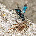 Black Wasp and Victim on the Stoop - Anoplius