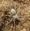 unknown spider - Arctosa littoralis