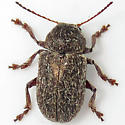 Hairy Leaf Beetle - Glyptoscelis pubescens