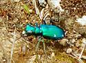 spotted green beetle? - Cicindela sexguttata