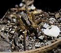 Which Wolf spider here, please? - Hogna frondicola