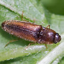 beetle - Glyphonyx