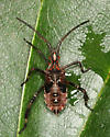 Western Conifer Seed Bug, nymph - Leptoglossus