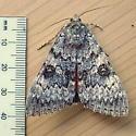 Erebidae: Catocala - Catocala