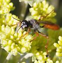 red wasp - Podalonia