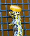 Symmerista with parasite? - Symmerista
