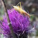 Yellow tree cricket on thistle - Oecanthus - male