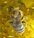 Colletes? - Colletes