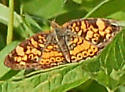 pearl or northern cresent ? - Phyciodes tharos - female