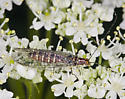 San Francisco Lacewing w/ unstable diagnostic wing venation character - Nothochrysa californica
