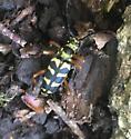 Longhorn beetle - Strophiona nitens